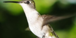 hummingbird-dd