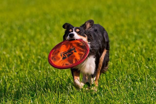 border-collie-frisbee
