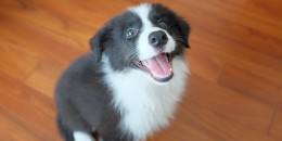 border-collie-puppy